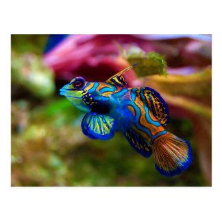 Mandarin Fish Synchiropus Splendidus Post Cards