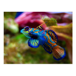 Mandarin Fish Synchiropus Splendidus Postcard