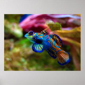 Mandarin Fish Synchiropus splendidus Posters