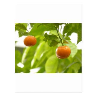 Mandarin Tree and Fruits Postcard