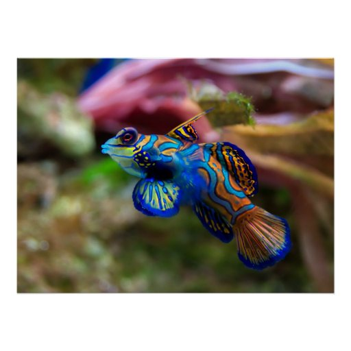 Mandarinfish Impresiones