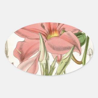 Mandevilla martiana oval sticker