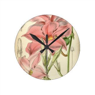 Mandevilla martiana round clock