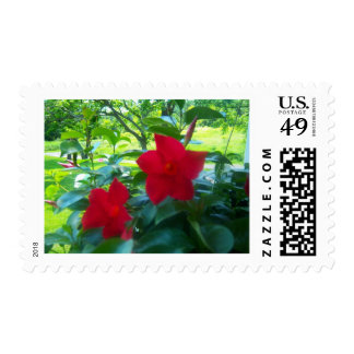 Mandevilla Red Riding Hood plant Postage