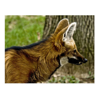 Maned Wolf  1529 Postcard