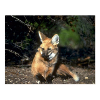 Maned Wolf lying down Postcards