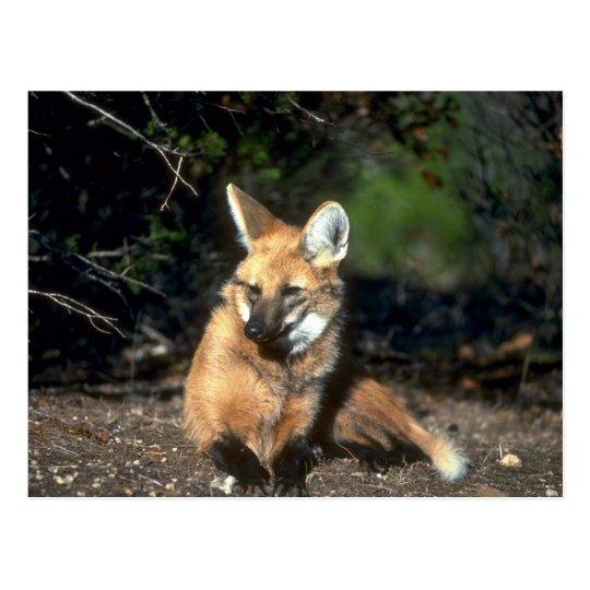 Maned Wolf lying down Postcard | Zazzle.com  Maned Wolf lyin...