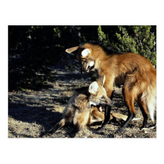 Maned wolves, mated pair postcards