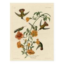 Mangrove Hummingbird Postcard