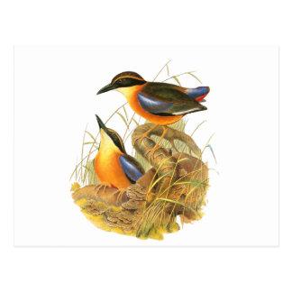 Mangrove Pitta Postcard
