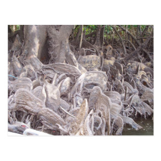 Mangrove Roots Postcard