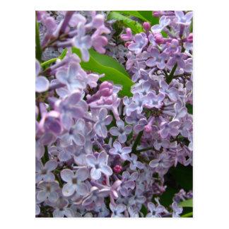 Manojos de la lila tarjeta postal