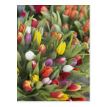 Manojos de tulipanes coloridos postal