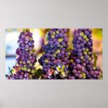 Manojos de uvas colgantes poster