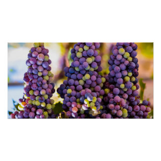 Manojos de uvas colgantes póster