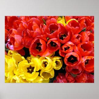 Manojos turcos del tulipán del color rojo y amaril póster