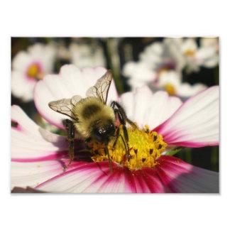 Manosee la abeja en la flor del cosmos cojinete