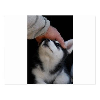 Man's Best Friend Siberian Husky Puppy Postcard