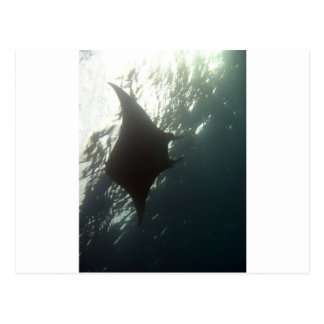 Manta ray swimming overhead postcard