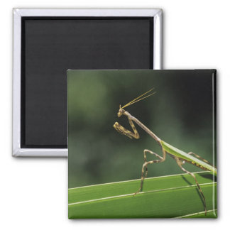 Mantid, Mantidae, adult on palm frond, The Inn 2 Inch Square Magnet