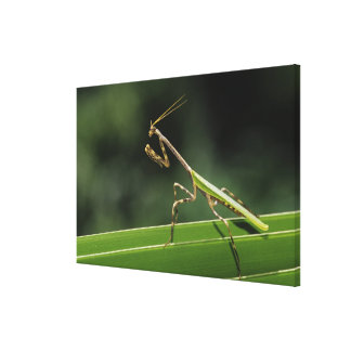 Mantid, Mantidae, adult on palm frond, The Inn Canvas Print