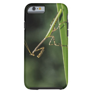 Mantid, Mantidae, adult on palm frond, The Inn Tough iPhone 6 Case