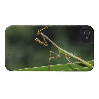 Mantid, Mantidae, adult on palm frond, The Inn iPhone 4 Cases