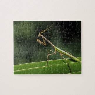 Mantid, Mantidae, adult on palm frond, The Inn Jigsaw Puzzle