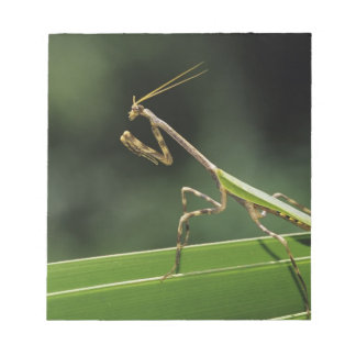 Mantid, Mantidae, adult on palm frond, The Inn Notepad