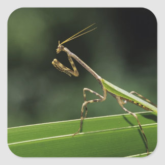 Mantid, Mantidae, adult on palm frond, The Inn Square Sticker