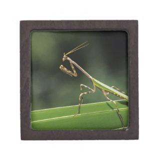 Mantid, Mantidae, adulto en la fronda de la palma, Caja De Joyas De Calidad