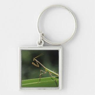 Mantid, Mantidae, adulto en la fronda de la palma, Llavero Cuadrado Plateado