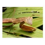 Mantis 83 ~ postcard