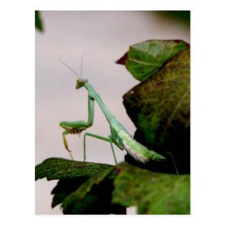 Mantis On A Hydrangea Postcard