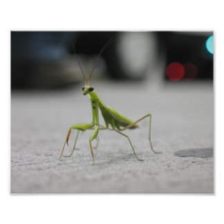 Mantis religiosa cojinete