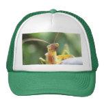 Mantis religiosa curiosa gorra