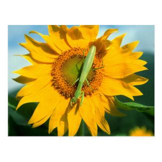 Mantis religiosa en un girasol tarjeta postal