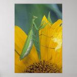 Mantis religiosa femenina con el saco del huevo en póster