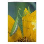 Mantis religiosa femenina con el saco del huevo en tarjetas