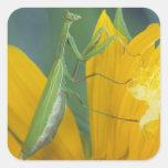 Mantis religiosa femenina con el saco del huevo pegatina cuadrada