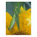 Mantis religiosa femenina con el saco del huevo tarjeta postal
