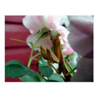 Mantis religiosa postales