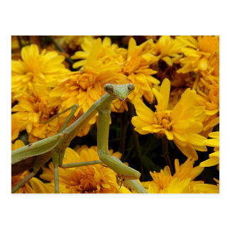 Mantis religiosa tarjeta postal