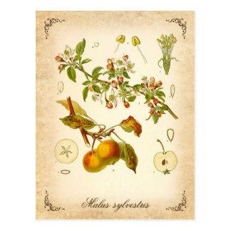 Manzana de cangrejo - ejemplo del vintage postal