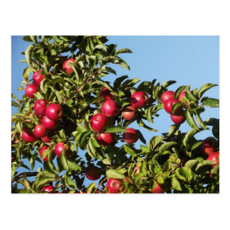 Manzanas de Mack Tarjeta Postal