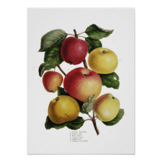 Manzanas Póster