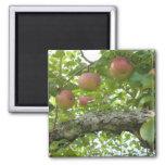 Manzanas que cuelgan en el árbol imán para frigorífico
