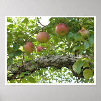 Manzanas que cuelgan en el árbol póster
