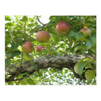 Manzanas que cuelgan en el árbol postal