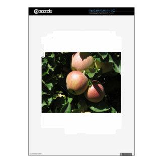 Manzanas rojas en ramas de árbol iPad 2 calcomanía